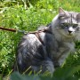 шлея для кошек